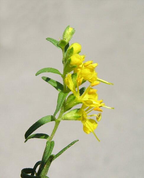 Odontites luteus (L.) Clairv. subsp. luteus