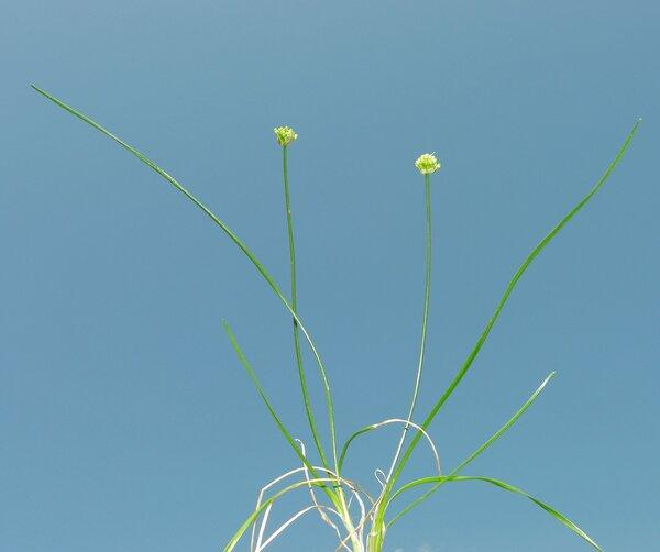 Allium horvatii Lovrić