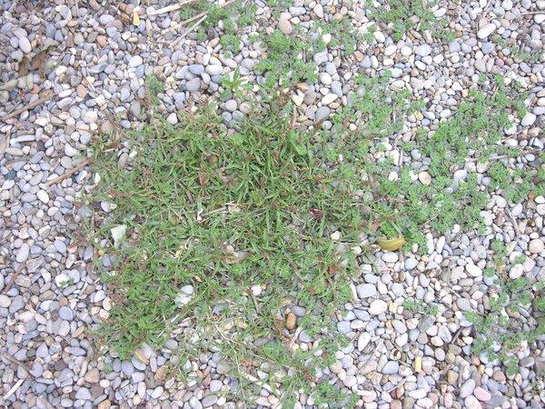 Amaranthus muricatus (Moq.) Gillies ex Hieron.