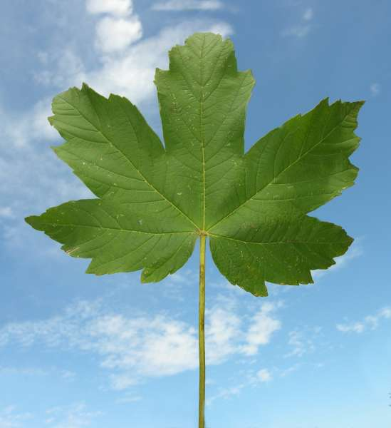 Acer pseudoplatanus L.