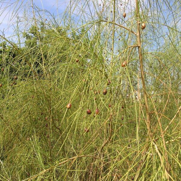 Retama monosperma (L.) Boiss. subsp. monosperma
