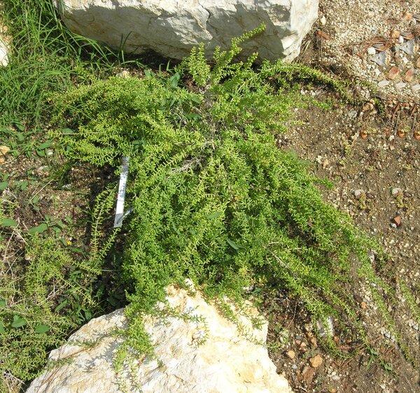 Suaeda brevifolia