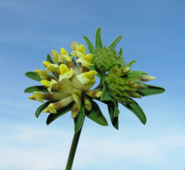 Anthyllis vulneraria L.