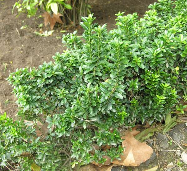 Euonymus japonicus Thunb. 'Microphyllus'