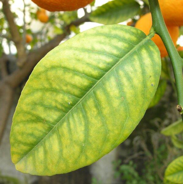 Citrus x volkameriana Ten. & Pasq.