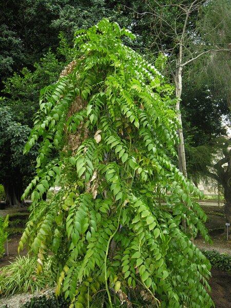 Asparagus exuvialis Burch.
