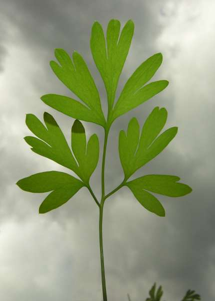 Fumaria capreolata L. subsp. capreolata