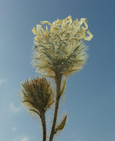 Hieracium scorzonerifolium Vill.