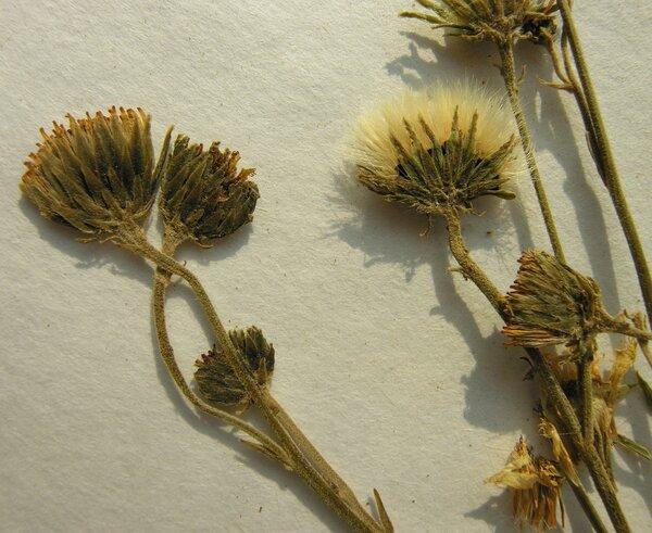 Hieracium laevigatum Willd.