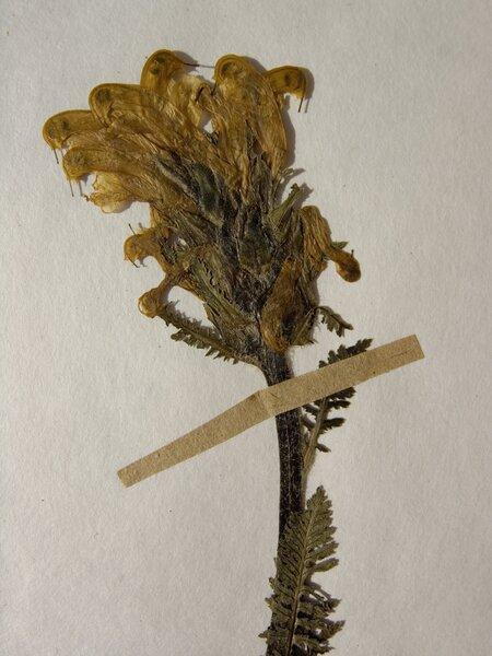 Pedicularis comosa L. subsp. comosa