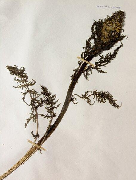 Pedicularis hoermanniana K.Malý