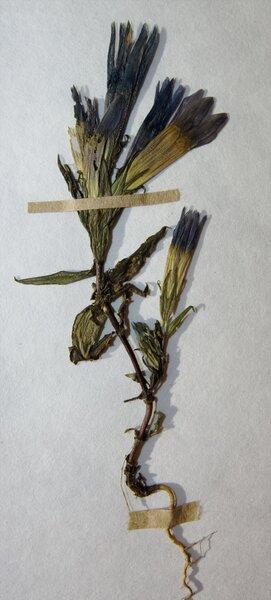 Gentianella lutescens (Velen.) Holub
