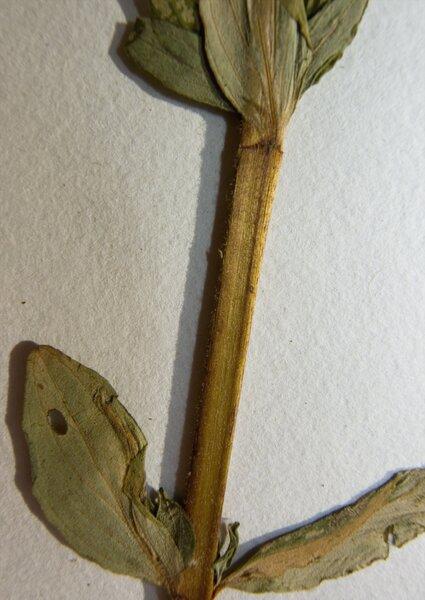 Hypericum hirsutum L.