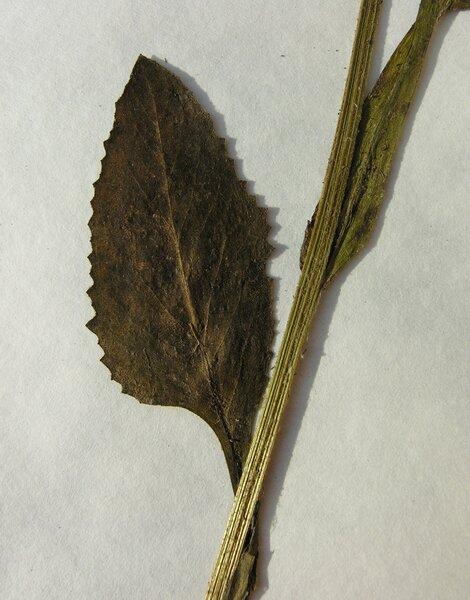 Tephroseris longifolia (Jacq.) Griseb. & Schenk subsp. pseudocrispa (Fiori) Greuter