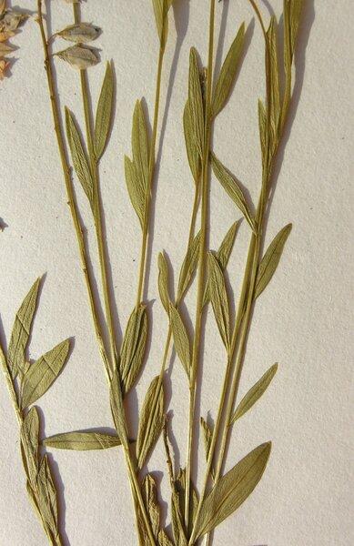 Polygala vulgaris L. subsp. vulgaris