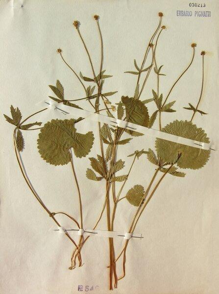Ranunculus cassubicifolius W.Koch