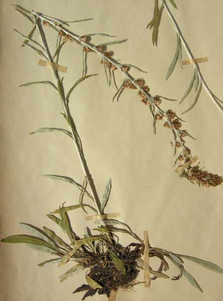 Omalotheca sylvatica (L.) Sch.Bip. & F.W.Schultz