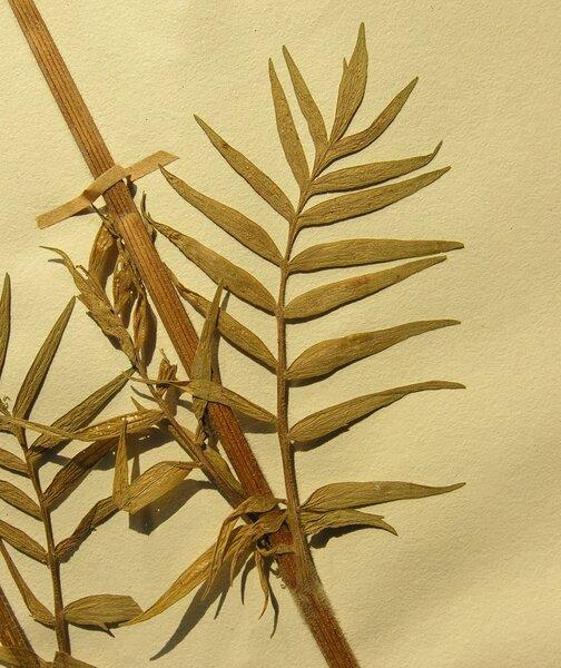 Valeriana stolonifera Czern. subsp. angustifolia Soó