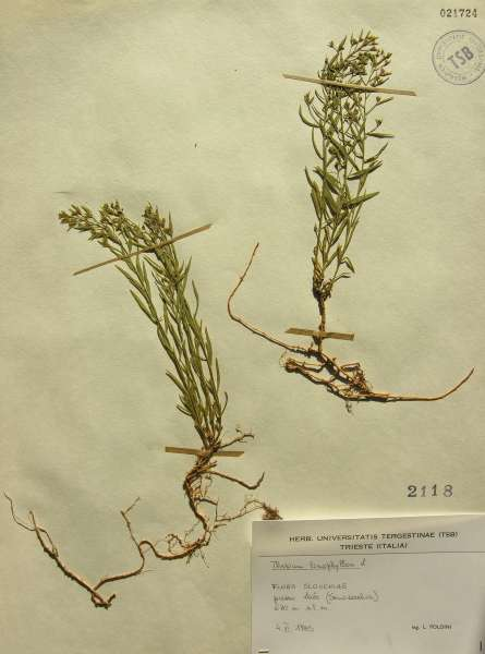 Thesium linophyllon L.