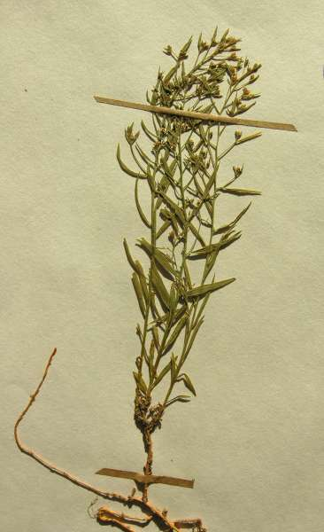 Thesium linophyllon L.