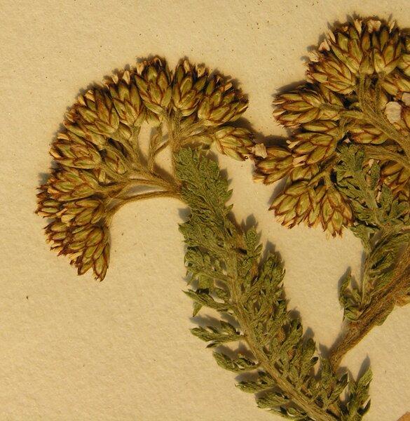 Achillea millefolium L. subsp. sudetica (Opiz) Oborny