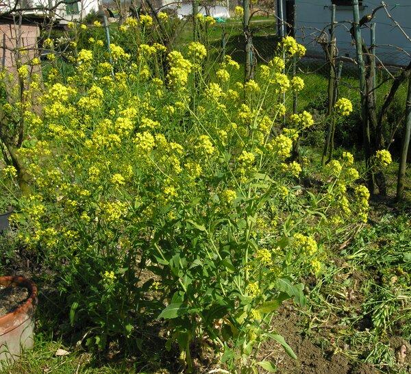 Brassica rapa L. subsp. rapa