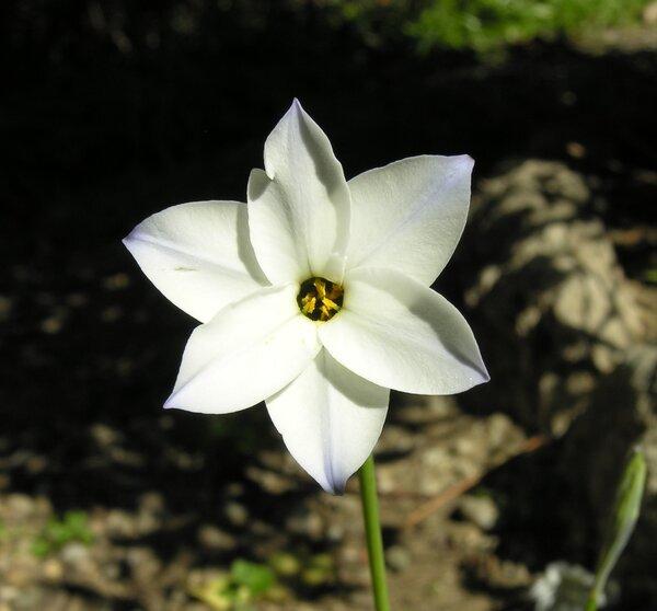 Ipheion uniflorum (Lindl.) Raf.