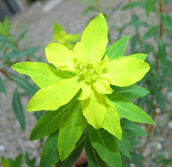 Euphorbia bivonae Steud. subsp. bivonae