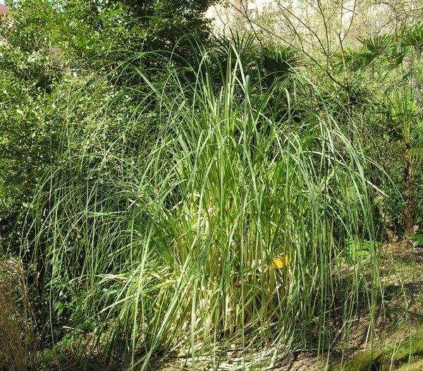 Cortaderia selloana (Schult. & Schult.f.) Asch. & Graebn.