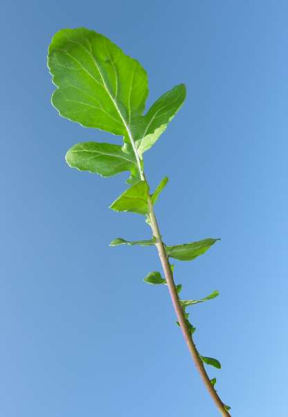 Eruca vesicaria (L.) Cav.