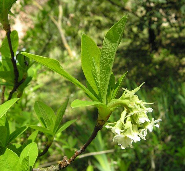 Oemleria cerasiformis (Torr. & Gray ex Hook. & Arn.) Landon