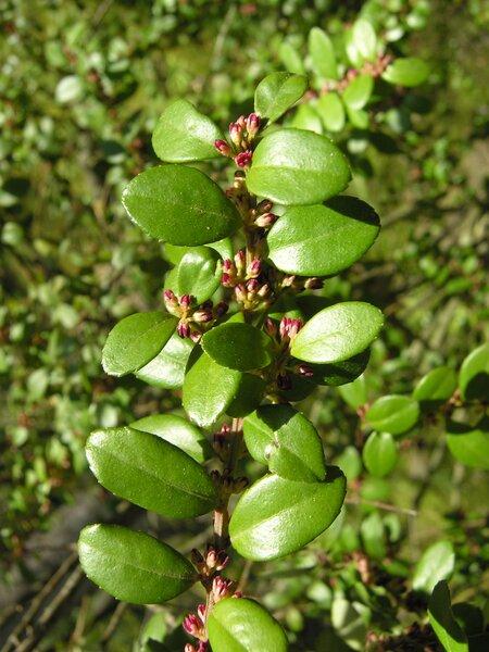 Myrsine africana L.
