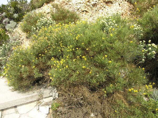 Genista tyrrhena Vals. subsp. pontiana Brullo & De Marco