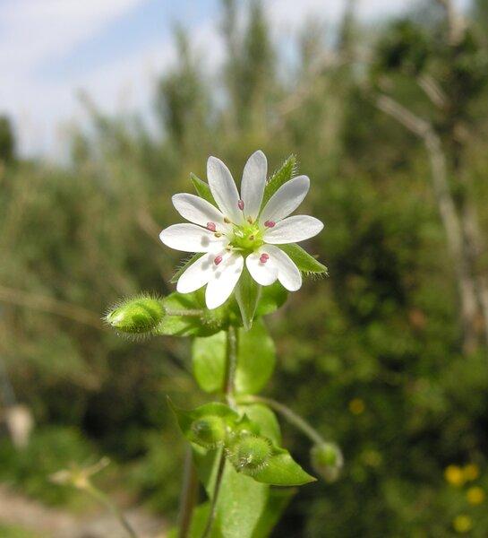 Stellaria neglecta Weihe subsp. neglecta
