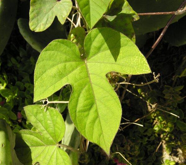 Ipomoea indica (Burm.) Merr.