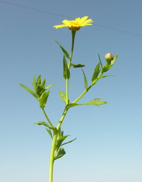 Glebionis segetum (L.) Fourr.