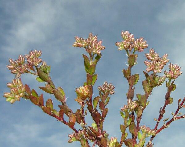 Polycarpon tetraphyllum (L.) L. subsp. alsinifolium (Biv.) Ball