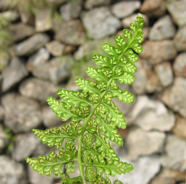 Asplenium obovatum Viv. subsp. obovatum