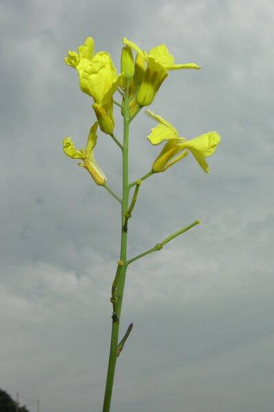 Brassica montana Pourr.