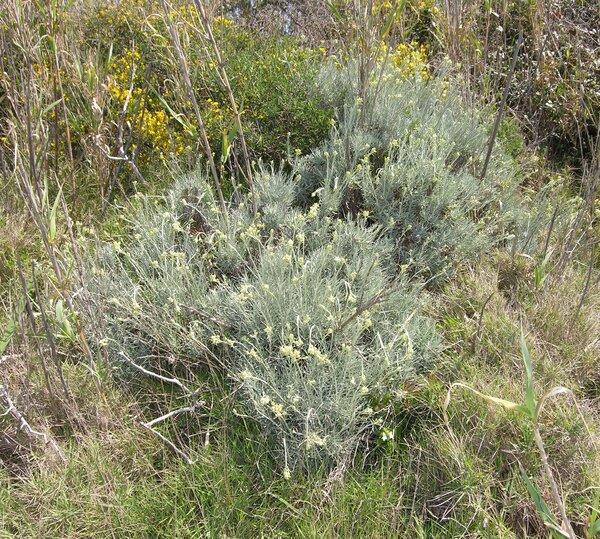 Helichrysum litoreum Guss.