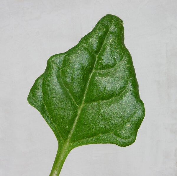 Tetragonia tetragonoides (Pall.) Kuntze