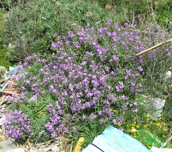 Matthiola incana (L.) W.T.Aiton subsp. incana