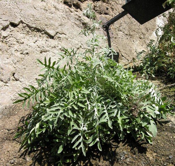 Centaurea cineraria L. subsp. cineraria