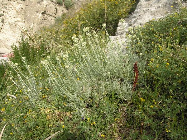 Helichrysum italicum (Roth) G.Don subsp. italicum