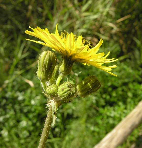 Sonchus asper (L.) Hill subsp. asper