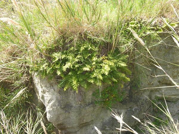 Polypodium cambricum L. subsp. serrulatum (Sch. ex Arcang.) Pic.-Ser.