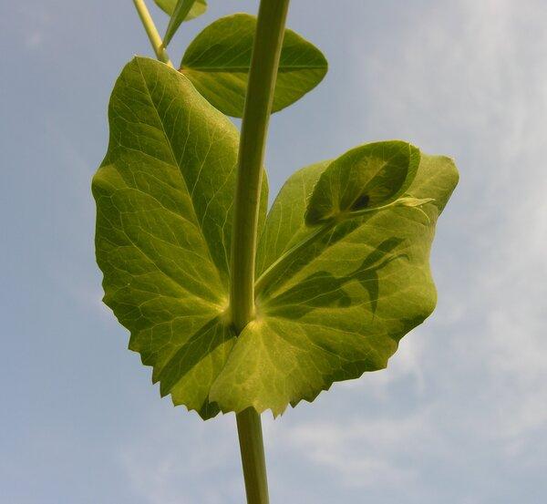 Lathyrus oleraceus Lam. subsp. biflorus (Raf.) H.Schaef., Coulot & Rabaute