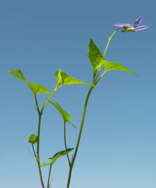 Viola riviniana Rchb. subsp. riviniana