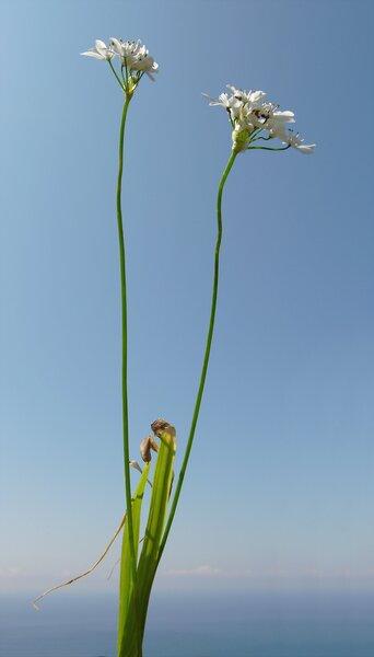 Allium trifoliatum Cirillo