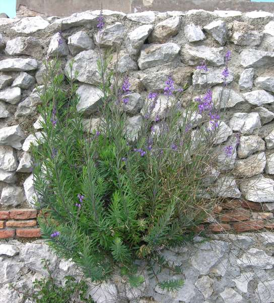 Linaria purpurea (L.) Mill.